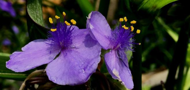 dual violets 009