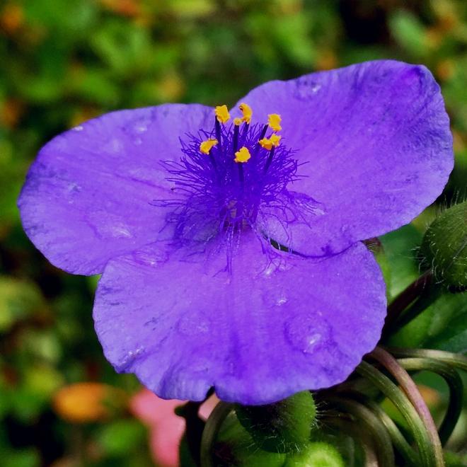 violets modified 012